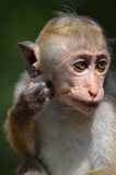 Wild Macaque stock image