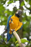 Wild Macaw Stock Photo