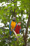 Wild Macaw Royalty Free Stock Photography