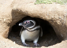 Wild Magellanic Penguin Royalty Free Stock Photography