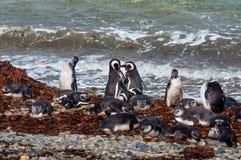 Wild magellanic penguins Stock Photography