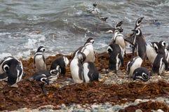 Wild magellanic penguins Stock Photos