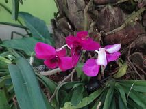 Magenta orchid. Wild magenta orchid in South East Asia stock photos