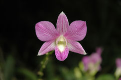 Wild magenta Thai orchid flower Royalty Free Stock Photography
