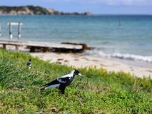 Wild magpie Royalty Free Stock Images