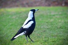 Wild magpie Stock Photography