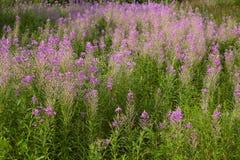 Wild maitohorsma grows in  field. Stock Photo