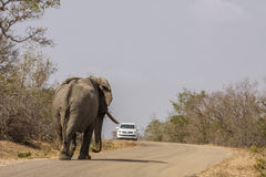 Wild male african bush elephant walking on the road in Kruger park. Wild male elephant walking on the road in front of a car, Kruger, South Africa Stock Image