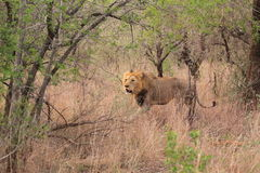 Wild male african lion stock images