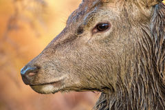 Wild male deer close up. Rutting season wet from wallowing. stock photo