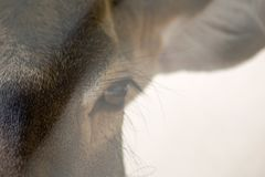 Wild male deer eye close up with sunlight.  Royalty Free Stock Image
