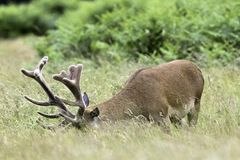 Wild male deer - London, United Kingdom Stock Image