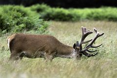 Wild male deer - London, United Kingdom Stock Photography