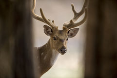 Wild male deer Stock Photos