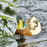 Wild male duck Stock Photo