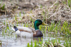 Wild Male Duck Mallard. With blurred background Royalty Free Stock Photos