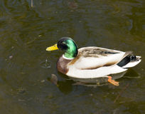 Wild male duck Royalty Free Stock Images