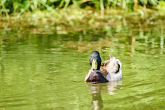 Wild Male Duck On Water. Wild Male Duck Swimming On Water Royalty Free Stock Image