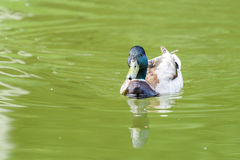 Wild Male Duck On Water. Wild Male Duck Swimming On Water Stock Photography