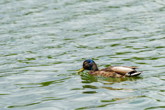 Wild Male Duck On Water. Wild Male Duck Swimming On Water Stock Image
