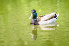 Wild Male Duck On Water. Wild Male Duck Swimming On Water Royalty Free Stock Photos