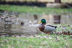 Wild Male Duck. With a blurred background Stock Images