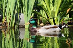 Wild male duck Royalty Free Stock Photography