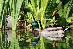 Wild male duck Stock Photography