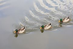Wild Male Ducks swimming in the Lake Royalty Free Stock Photo