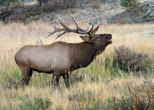 Wild male elk. Healthy wild male elk bugling in Rocky Mountain National Park during rutting season stock photo