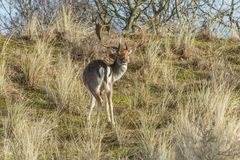 Wild male fallow deer grazing in Dutch dune area on a steep dune slope. Male fallow deer, Dama dama, in Amsterdamse Waterleidingduinen  with raised head looking Royalty Free Stock Photography