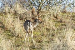 Wild male fallow deer grazing in Dutch dune area on a steep dune slope. Male fallow deer, Dama dama, in Amsterdamse Waterleidingduinen  with raised head looking Stock Photos