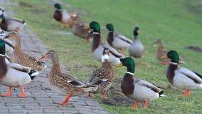 Wild male and female Ducks mallard in the nature in winter stock video