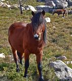 Wild hazel horse. Wild male hazel horse, with black mane and white spot on forehead. Lovely stallion in freedom grazing in a meadow of a mountain royalty free stock image