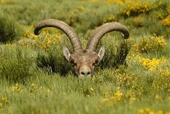 Wild male head of the vegetation. Of gredos Stock Images