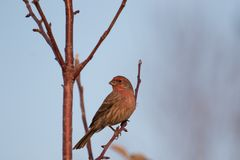 Male house finch perched on a tree branch Royalty Free Stock Photos