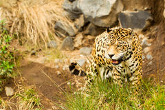 Wild Male Jaguar Stock Image