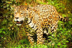 Wild Male Jaguar Royalty Free Stock Image
