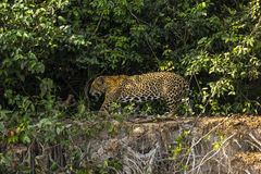 Wild Male Jaguar Walking Along Jungle Riverbank Edge Royalty Free Stock Images