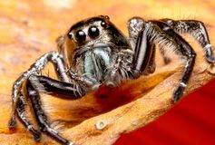 Wild male jumping spider with black color look forward and stay on brown dry leaf and red color background are in bottom right stock photography
