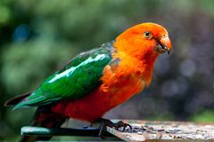 A wild male king parrot eating seeds in Lithgow New south Wales stock photos
