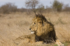 Wild male lion in the grass, Kruger National park, South Africa Stock Photography
