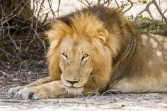 Wild male lion having a nap in savannah,  in Kruger park Royalty Free Stock Photography
