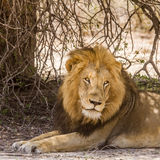 Wild male lion having a nap in savannah,  in Kruger park Royalty Free Stock Photos