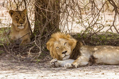 Wild male lion having a nap in savannah,  in Kruger park Stock Photography