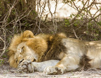 Wild male lion having a nap in savannah,  in Kruger park Stock Photo