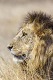 Wild male lion in Kruger Park, South Africa Stock Image