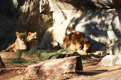 Wild male lion licking his ball and sitting two female lions in national forest Royalty Free Stock Photos
