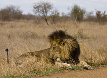 Wild male lion lying down in the bush, Kruger, South Africa Stock Photography