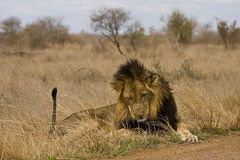 Wild male lion lying down in the bush, Kruger, South Africa Stock Images